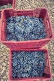 Escogió recientemente la denominación de las uvas del origen Valtiendas en Segovia España fotografía de archivo