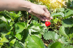 Escogiendo las fresas orgánicas frescas en mujer dé el crecimiento Imagenes de archivo
