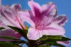 Escoja a Azalea Flower rosada con backgrou de la flor rosada y del cielo azul Fotografía de archivo libre de regalías