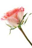 Escoja color de rosa en blanco Fotografía de archivo libre de regalías