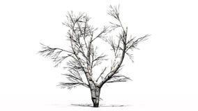 Escoja el árbol de abedul blanco en el invierno con la sombra en el piso Imagen de archivo