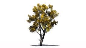 Escoja el árbol de abedul blanco en el otoño con la sombra en el piso Imágenes de archivo libres de regalías