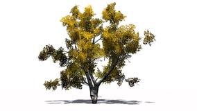 Escoja el árbol de abedul blanco en el otoño con la sombra en el piso Fotografía de archivo libre de regalías