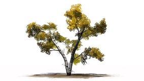 Escoja el árbol de abedul blanco en el otoño en erea de la arena Imagenes de archivo