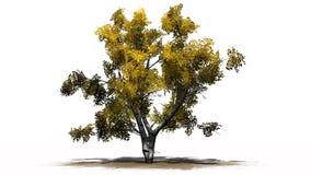Escoja el árbol de abedul blanco en el otoño en erea de la arena Foto de archivo libre de regalías