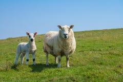Escoja el cordero recién nacido con la oveja contra el cielo azul imagen de archivo