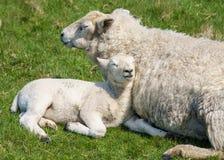 Escoja el cordero recién nacido con la oveja relajada en hierba imagen de archivo libre de regalías