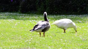 Escoja el domesticus nacional del anser del ganso que alimenta en la hierba verde metrajes