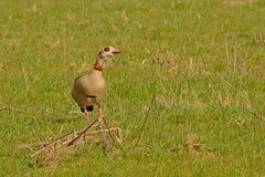 Escoja el ganso egeyptian en un prado verde, foco selectivo - aegyptiaca de Alopochen Imágenes de archivo libres de regalías
