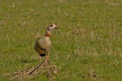 Escoja el ganso egipcio que se coloca en un prado verde, foco selectivo - aegyptiaca de Alopochen Fotografía de archivo libre de regalías