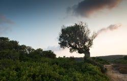 Escoja el olivo solo en el campo durante puesta del sol Fotos de archivo libres de regalías