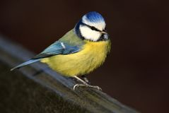 Escoja el pájaro del Tit azul en una cerca en estación de primavera foto de archivo