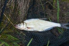 Escoja el zope de los pescados de agua dulce o la brema azul en n pesquera negra Foto de archivo