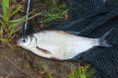 Escoja la brema del blanco-ojo de los pescados de agua dulce en red de pesca negra Imágenes de archivo libres de regalías