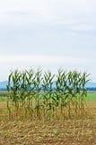 Escoja la fila del maíz en un campo Fotos de archivo