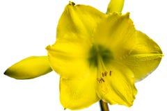 Flor amarilla del Amaryllis fotos de archivo