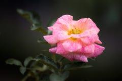 escoja la flor color de rosa en color rosado y blanco en verano en un jardín en fondo oscuro foto de archivo