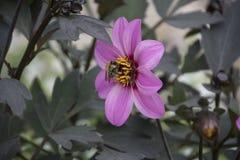 Escoja la flor rosada de la dalia con la abeja en el verano Fotos de archivo