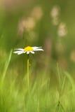 Escoja la margarita blanca (vulgare del Leucanthemum) en un Agricultura verde Imagenes de archivo