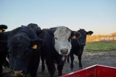 Escoja la vaca blanco-hecha frente en una manada de vacas negras Imágenes de archivo libres de regalías