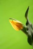 Escoja, tulipán amarillo de pascua en fondo verde imagenes de archivo