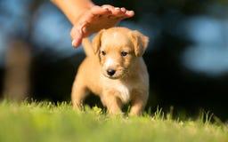 Escoja un animal doméstico - pequeño perro amarillo Foto de archivo