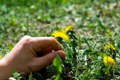 Escoja una flor del diente de león Imagen de archivo libre de regalías