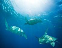 Escola das tartarugas de mar que migram Imagens de Stock Royalty Free