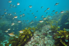 Escola das varreduras no recife rochoso foto de stock royalty free