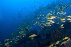 Escola de carangas amarelas sobre o recife. Indonésia Sulawesi Lembehst Imagem de Stock Royalty Free