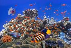 Escola de Coral Goldfishes Fotografia de Stock Royalty Free