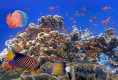 Escola de Coral Goldfishes Fotos de Stock