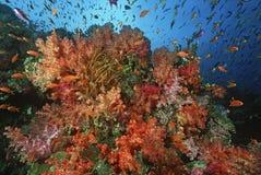 Escola de goldies do mar entre o recife de corais macio Imagem de Stock