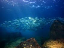Escola de Makerel dos peixes, mergulhando no mar o Cortez Baja Mexico imagem de stock