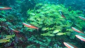 A escola de peixes amarelos listrados no fundo cancela o underwater do fundo do mar em Maldivas vídeos de arquivo