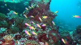 A escola de peixes amarelos listrados no fundo cancela o underwater do fundo do mar em Maldivas video estoque