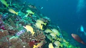 A escola de peixes amarelos listrados no fundo cancela o underwater do fundo do mar em Maldivas filme