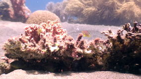 Escola de peixes coloridos nos corais no mar profundo à procura do alimento em Filipinas video estoque