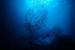 Escola de peixes da isca Imagem de Stock