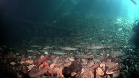 Escola de peixes da truta debaixo d'água de Lena River em Sibéria de Rússia filme