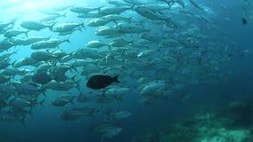 Escola de peixes do jaque em Sipadan video estoque