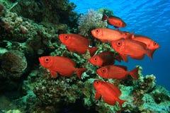 Escola de peixes tropicais Fotografia de Stock
