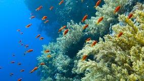 Escola de peixes tropicais em um recife de corais colorido filme