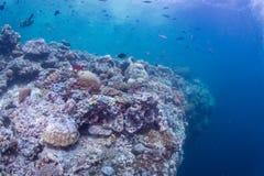Escola de peixes vermelhos Fotos de Stock