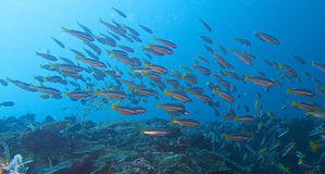 Escola de peixes vermelhos do recife de Fusiliers fora do capelão Burgos, Leyte, Filipinas Imagem de Stock