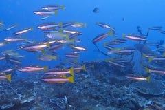 Escola de peixes vermelhos do recife de Fusiliers fora do capelão Burgos, Leyte, Filipinas Fotografia de Stock Royalty Free
