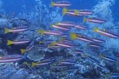 Escola de peixes vermelhos do recife de Fusiliers fora do capelão Burgos, Leyte, Filipinas Imagens de Stock Royalty Free