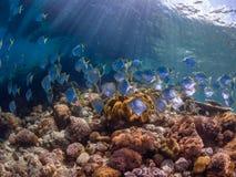 Escola dos diamondfish em um recife de corais tropical pristine foto de stock royalty free