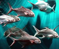 Escola dos peixes fotos de stock royalty free