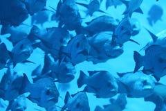 Escola dos peixes Fotos de Stock